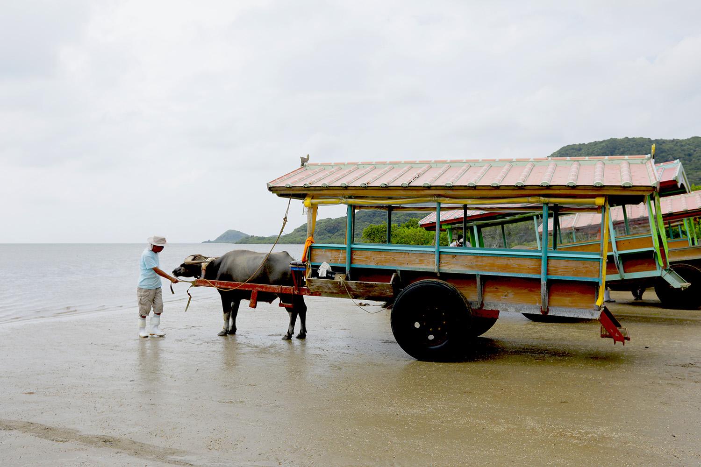 島から島へ水牛車でショートトリップ!</br>一島まるごと亜熱帯の植物園「由布島へ」